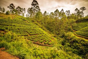 Sri Lanka: famous Ceylon highland tea fields