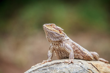 Bearded dragon on a rock.