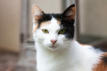An european cat in portrait.