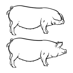 Pig isolated on white background, Drawing Vector illustration outline.