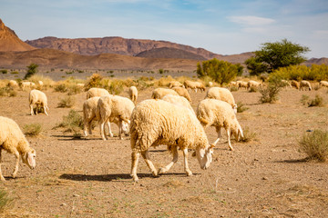 Sheep grazing on the stony land of southern Morocco