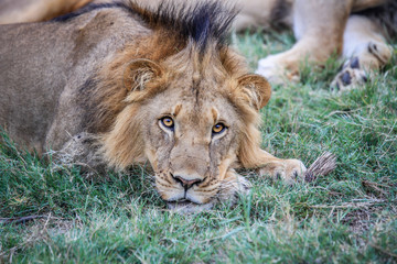 Male Lion starring at the camera.