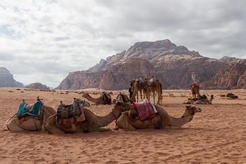 Foto op Plexiglas Kameel Camel sitting on sand dune