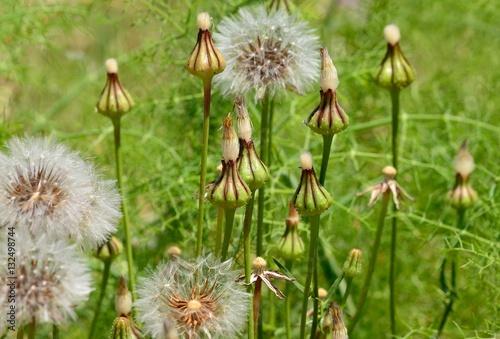 Dandelions in flowering process before releasing its seeds