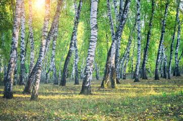 Birch grove and the sun. Retro filter.