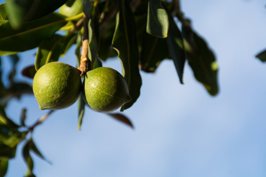 Macadamia nuts on the evergreen tree - expensive fat nuts copy space