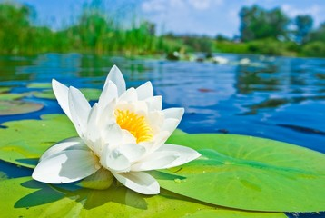 Wall Murals Water lilies Water lily floating on lake