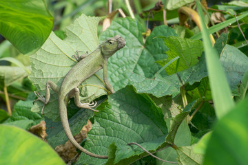 Indian gecko inside a bush looking out