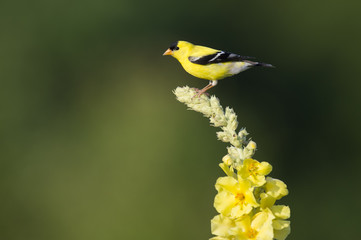 Goldfinch on a Yellow Flower