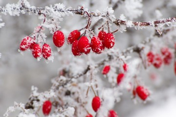 red berries in the winter
