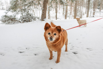 Small Dogs Walking in the Snow