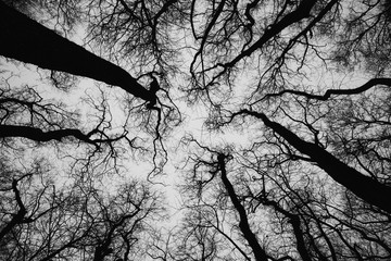 Treetops of Common alder, picture in black and white