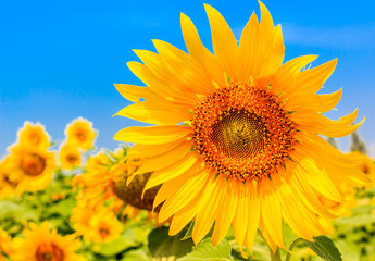 Close up of beautiful sunflowers, yellow flower blooming in nature garden, on against a bright blue sky background. selective focus.