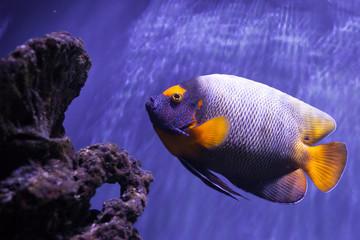 Yellow-faced angelfish swimming