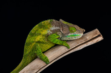 chameleon black background