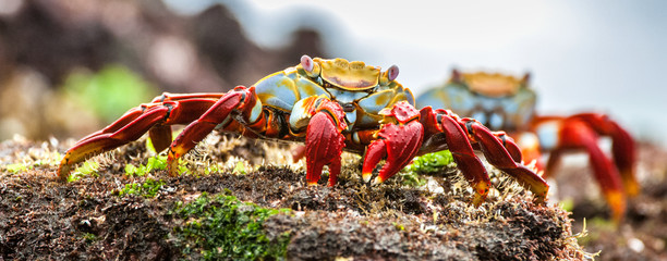 Red Sally Lightfoot crabs on a lava rock. The scientific name of these crabs is Grapsus Grapsus and the common name is Sally Lightfoot Crabs or also known as Red Rock Crabs.