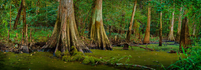 Louisiana Cypress Swamp Wall mural