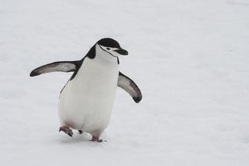 Chinstarp Penguin on the snow