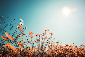 Fototapete - Vintage landscape nature background of beautiful cosmos flower field on sky with sunlight in spring. vintage color tone filter effect