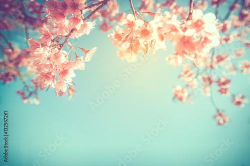 Wall mural beautiful vintage sakura flower (cherry blossom) in spring. vintage color tone