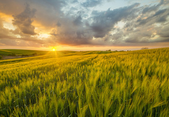 Acrylic Prints Village sunset over a field of young wheat, stalks waving in the wind
