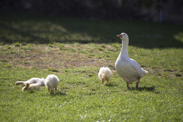 goose and goslings on grass
