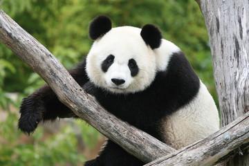Acrylic Prints Panda Panda Géant