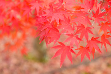 Red maple leaves in autumn season, selective focus