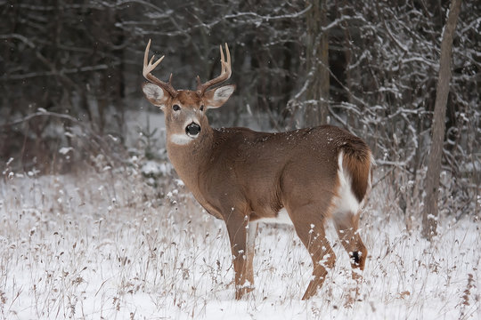 White-tailed deer buck standing in the winter snow in Canada
