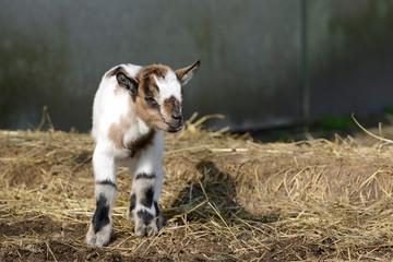 white goat kid standing on straw