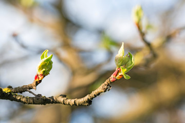 close up branch with young leaves in spring