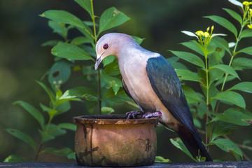 Green imperial Pigeon in Minneriya national park, Sri Lanka