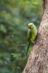 Rose-ringed parakeet in Minneriya national park, Sri Lanka