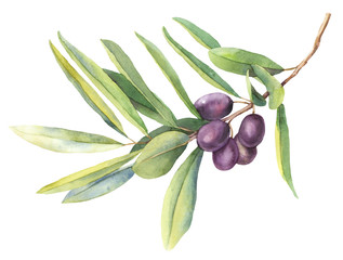 Watercolor illustrations of olive branches