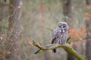 Fototapete - Great grey owl on tree branch