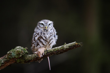 Wall Mural - Little owl with hunted down mouse