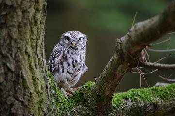 Fototapete - Little owl on tree