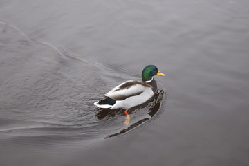 Swimming duck on the river in winter