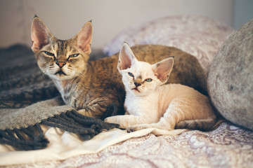 Portrait of adorable Devon Rex cats - mother and her small one month old kitten, cats are laying down on the bed together. Cats feeling relaxed and comfortable, felling safe and happy living at home