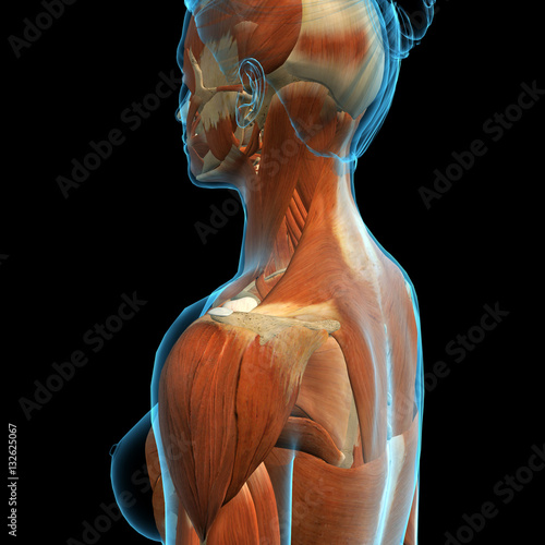 Woman\'s Neck and Shoulder Muscle Anatomy Side View\