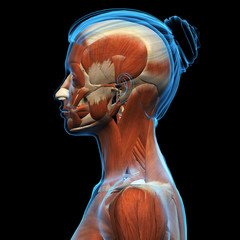 Profile of Woman's Head and Neck Muscle Structure