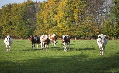 Kuhherde auf einer Weide im Herbst in Schleswig-Holstein