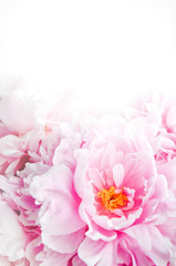 Fresh bunch of pink peonies peony roses flowers. Pastel floral wallpaper, background from flower petals. Trendy color. Bloom love concept. Card, text, copy space.
