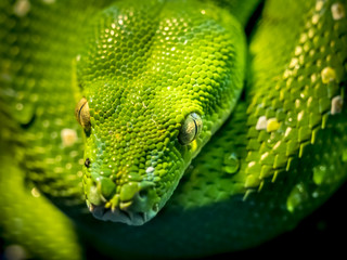 Close-Up of a Green Tree Python snake