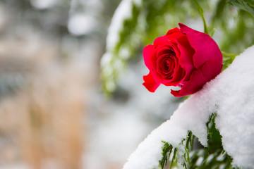 eine rote Rose im Schnee