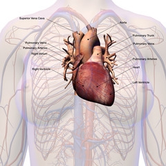 Female Heart Circulatory System Labeled Anatomy
