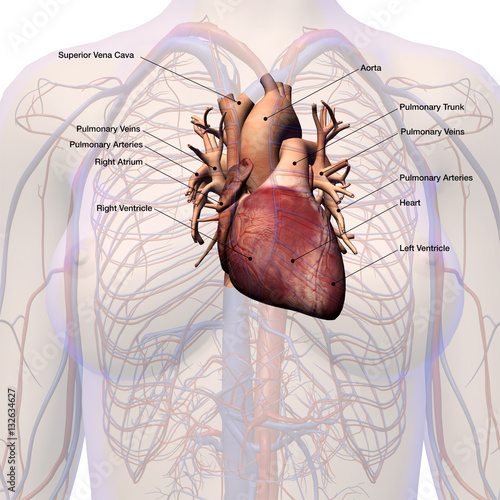 Female Heart Circulatory System Labeled Anatomy Stock Photo And