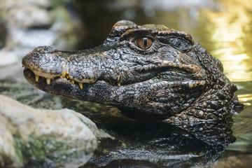 Small Caiman Crocodile