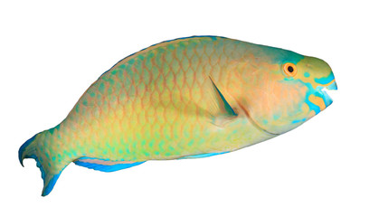 Fish isolated. Parrotfish on white background. Bullethead Parrotfish cut out