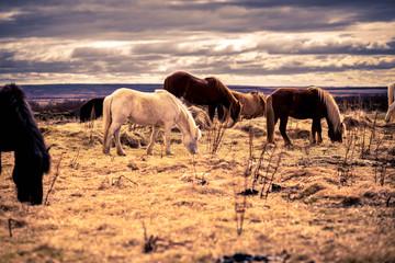 Icelandic Horses Grazing